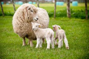 sheep and lambs - ww